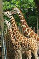 katie holmes suri feeds giraffes at bronx zoo 03
